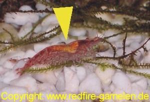 Eifleck der Redfire Garnele