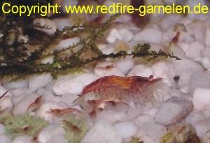 Red fire Garnele mit Nachwuchs