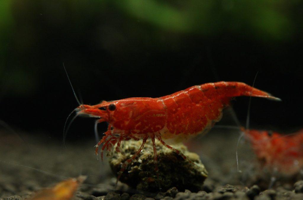 Färbung der ausgewachsenen Red Fire Garnele