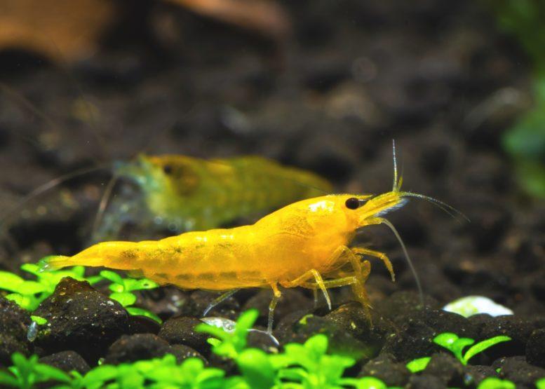 Yellow Fire Garnele
