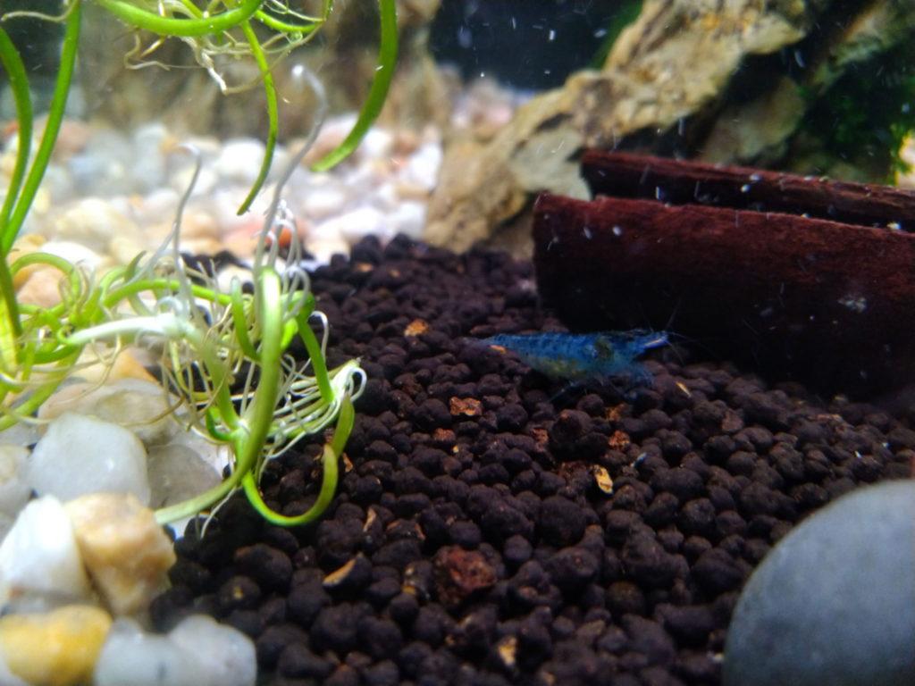 Blue Jelly Garnele im Aquarium