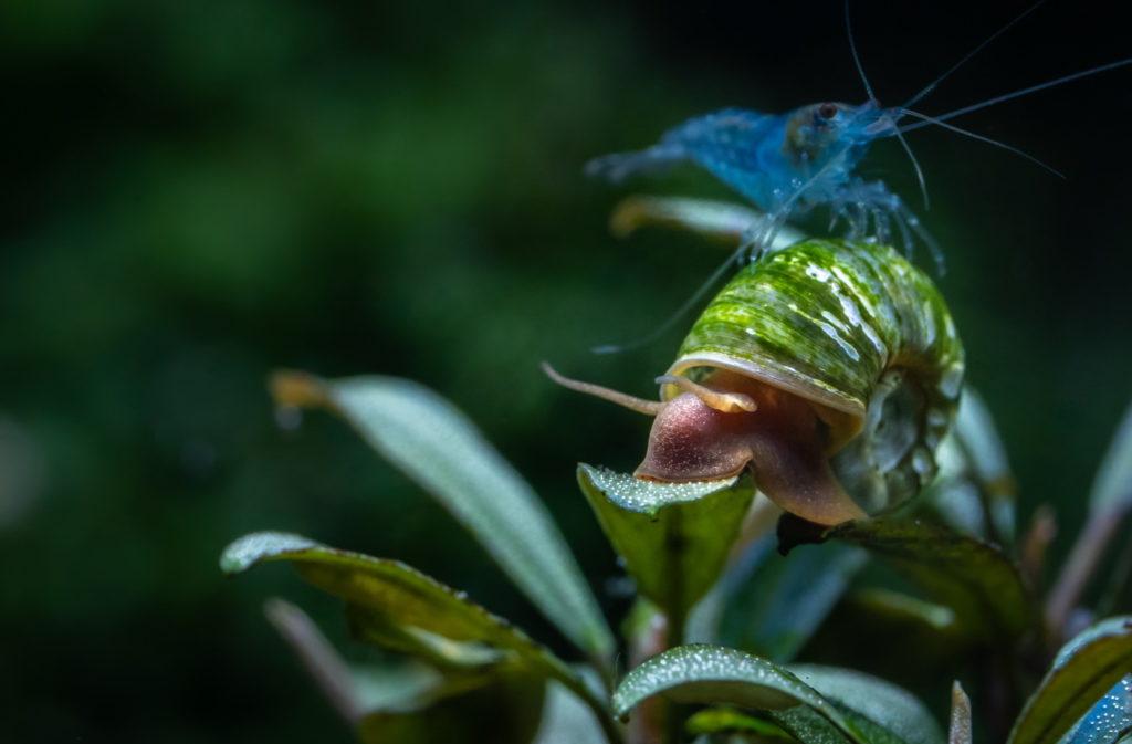 Eisblaue Garnele mit einer Schnecke