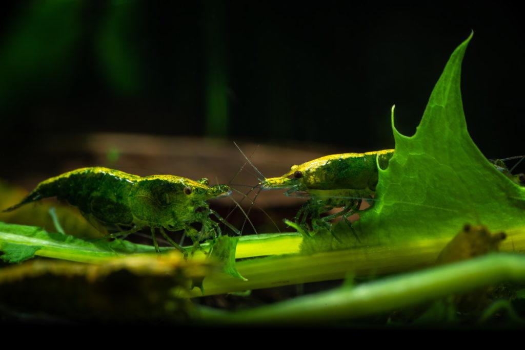 Zwei Green Jade Garnelen