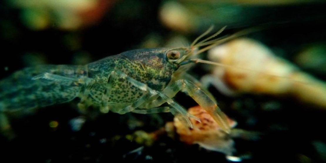 Alabama-Zwergflusskrebs - Ambarellus Diminutus