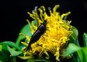 Black Sakura Garnele